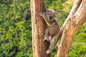 foto of koala  - Cute Koala in the forest - JPG