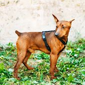 image of miniature pinscher  - Red Dog Miniature Pinscher  - JPG
