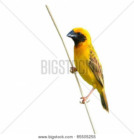 Asian Golden Weaver Bird