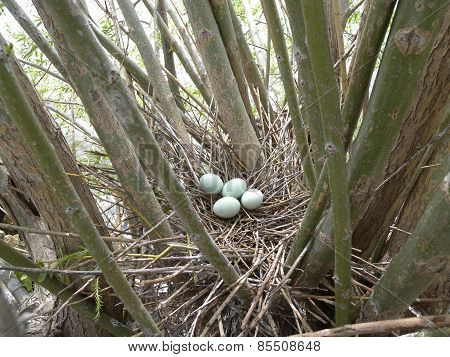 Black-crowned Night Heron Nest