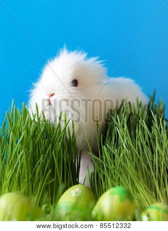 Downy easter bunny is in the thick green grass near the Easter eggs, isolated on blue