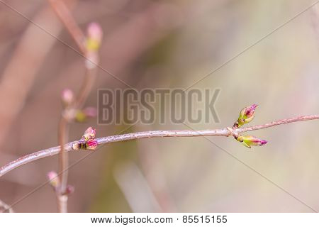 Developing buds in early springtime on tree branch