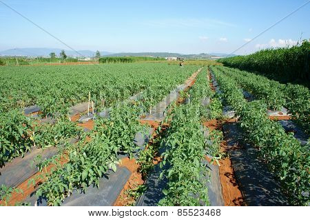 Asian Agricultural Field, Tomato Farm