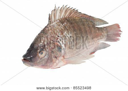 fresh tilapia fishes