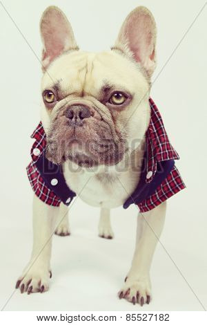 french bulldog wearing a shirt