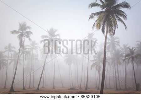 Palms in morning fog in Arambol, Goa, India
