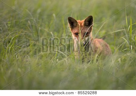 Fox in the wild, in a clearing
