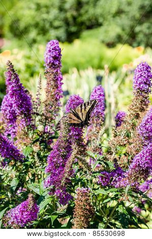 Yellow And Black Butterfly On Purple Butterfly Bush