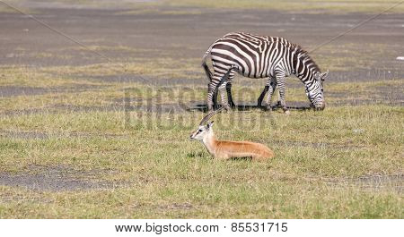 antelope and zebra on a background of grass