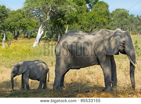 Mother & Calf Elephant standing back to back in Zambia