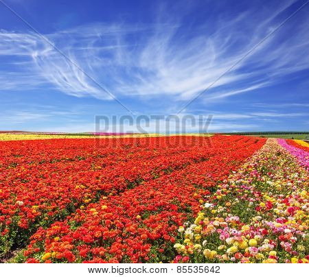 Bright festive red blooming field of buttercups. Cool and windy spring day