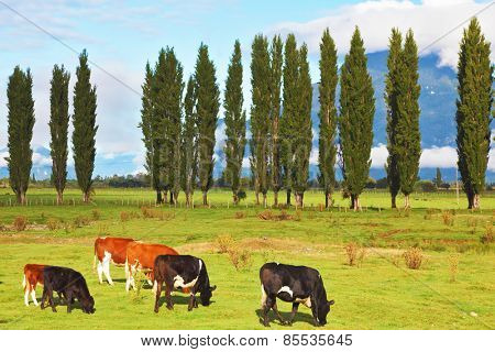 Rural idyll in Chilean Patagonia. Orange and black cows graze on green pasture.