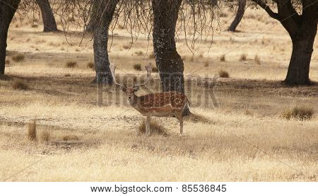 Fallow Deer In The Meadow With Holm Oaks. Segovia, Spain
