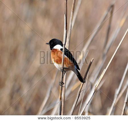 African Stonechat Bird