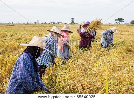 Farmer Harvesting From The Rice Field