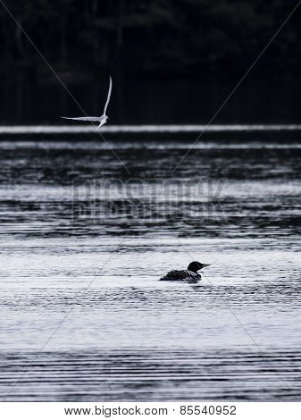 Great northern loon bird at water