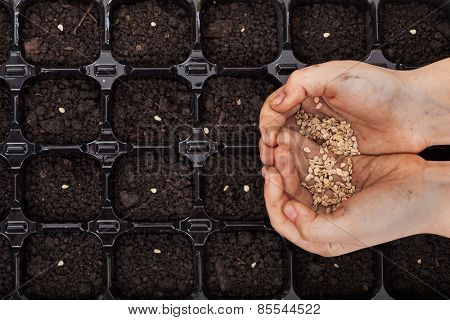 Hands holding spring seeds ready to sow in a germination tray - closeup