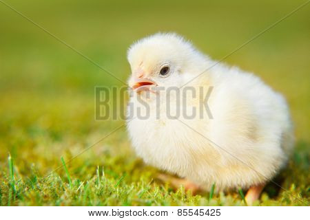 Cute little chick sitting on green meadow