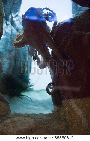 Octopus swimming in fish tank at the aquarium