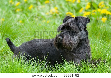 Black Miniature Schnauzer Dog