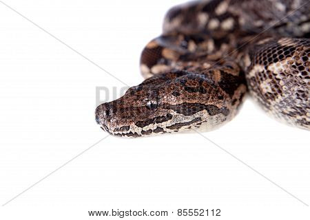 Dumerils Ground Boa on white