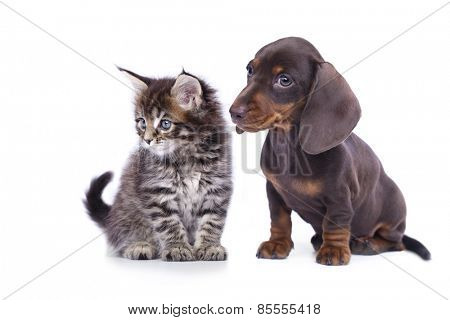 cat and dog, dachshund puppy and kitten chocolate color