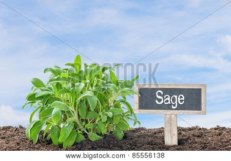 Sage in the garden with a wooden label