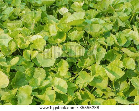 Asiatic Pennywort Or Indian Pennyrort  Herb