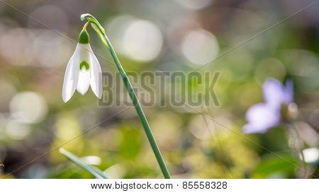 Fresh White Snowdrop Marking The Start Of Spring