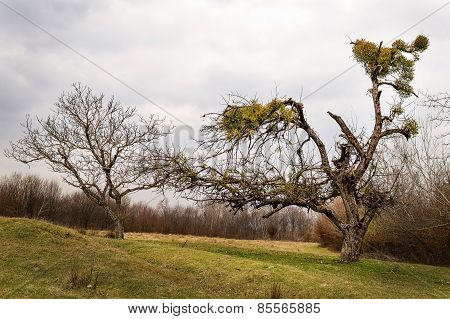 Mistletoe Infested Tree