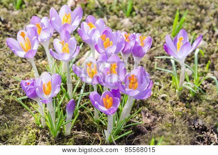 Spring Crocuses Flowers On Sunshine Meadow