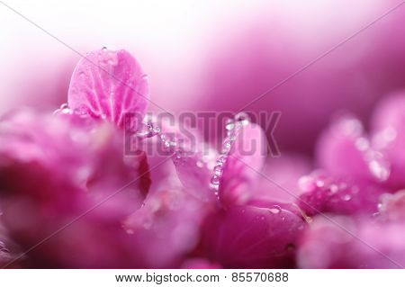 Raindrops On Leaves Pink Flowers Cercis