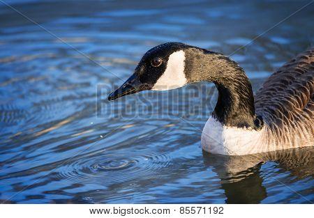 Closeup Of Canada Goose (branta Canadensis)
