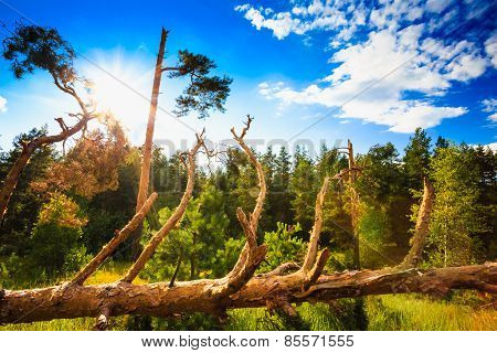 Windfall In Forest. Storm Damage. Fallen Trees In Coniferous For