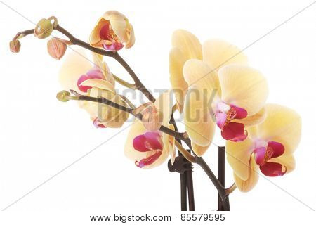 Close up twig of yellow orchid flower.