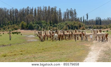 Big Herd Of Llamas In National Park, Chile