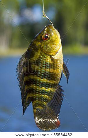 Carp bait