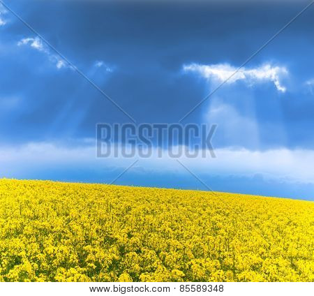 Yellow rape field under thunder clouds