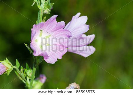 Closeup Of Pink Hollyhock Flowers On Green Meadow