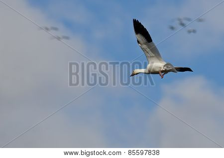 Lone Snow Goose Flying In The Clouds