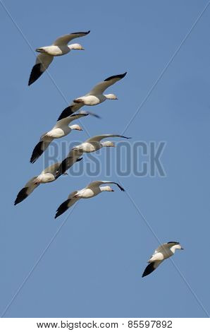 Flock Of Snow Geese Flying In The Blue Sky