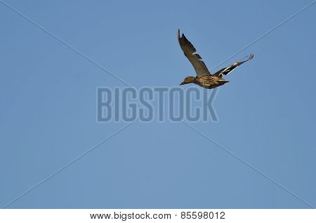 Female Mallard Duck Flying With Tattered Wings