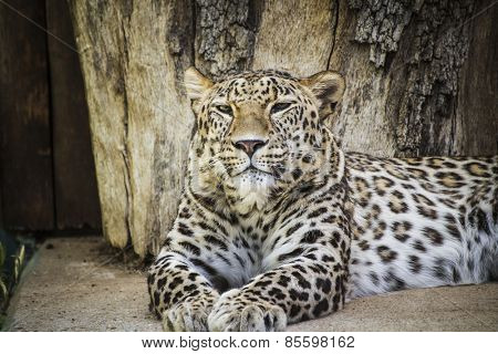 Feline, Powerful leopard resting, wildlife mammal with spot skin