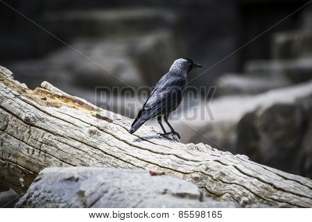 Raven black leaning on a tree branch