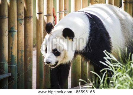 Beautiful breeding panda bear playing in a tree