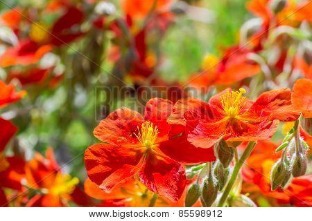 Orange Rock Roses In The Sun