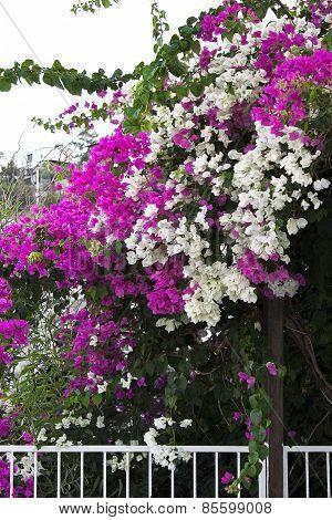 white and purple bougainvillea