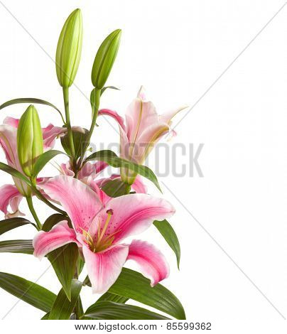 Pink lilies bunch isolated on a white background