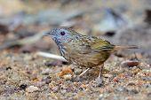 stock photo of babbler  - Babbler bird Streaked Wren Babbler  - JPG