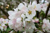 pic of tree-flower  - Flowering of apple trees - JPG